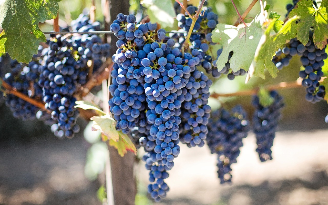 Exploring the Benefits of Grapes: Why Should You Eat Them?
