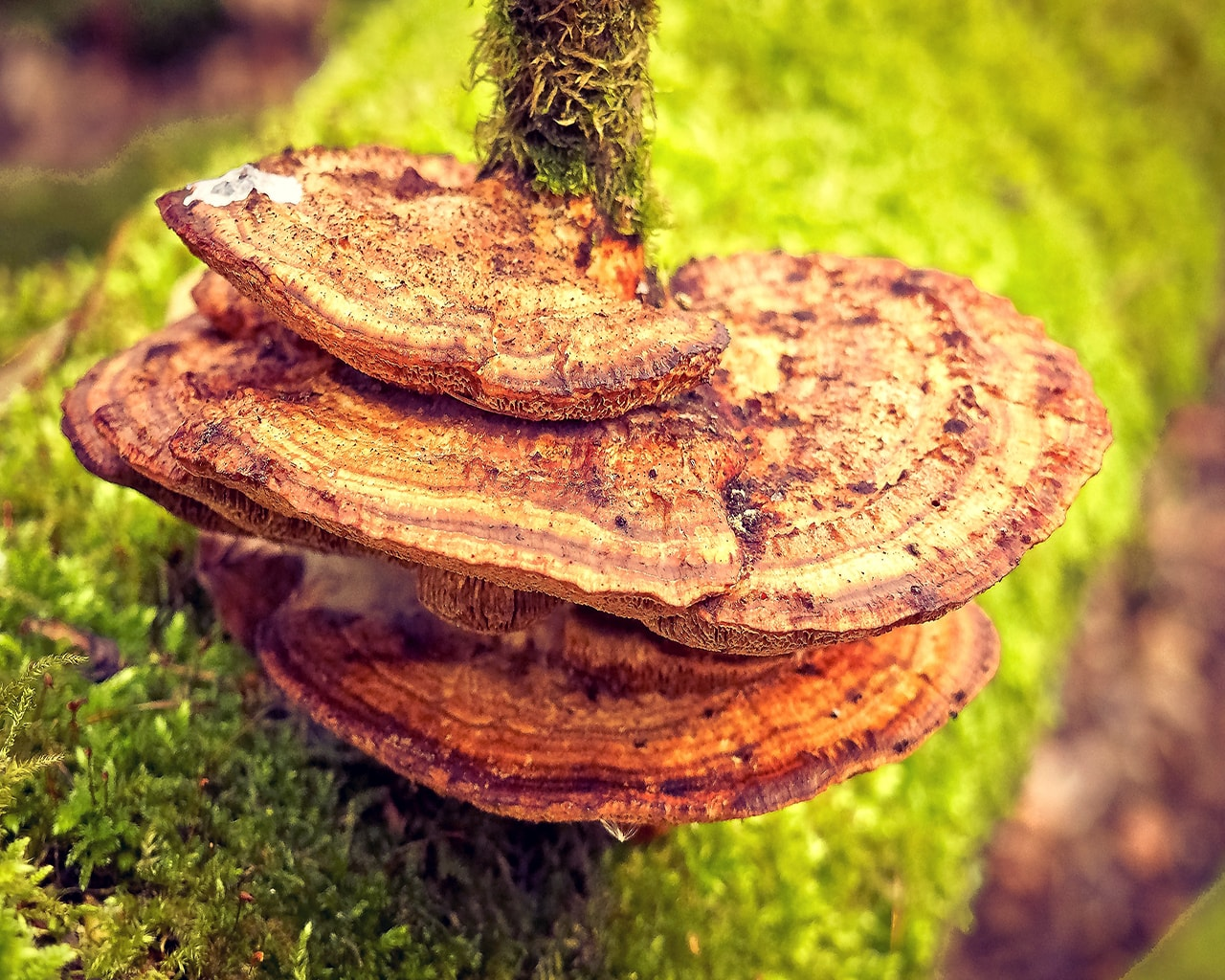 reishi, mushroom, wood, ganoderma lucidum