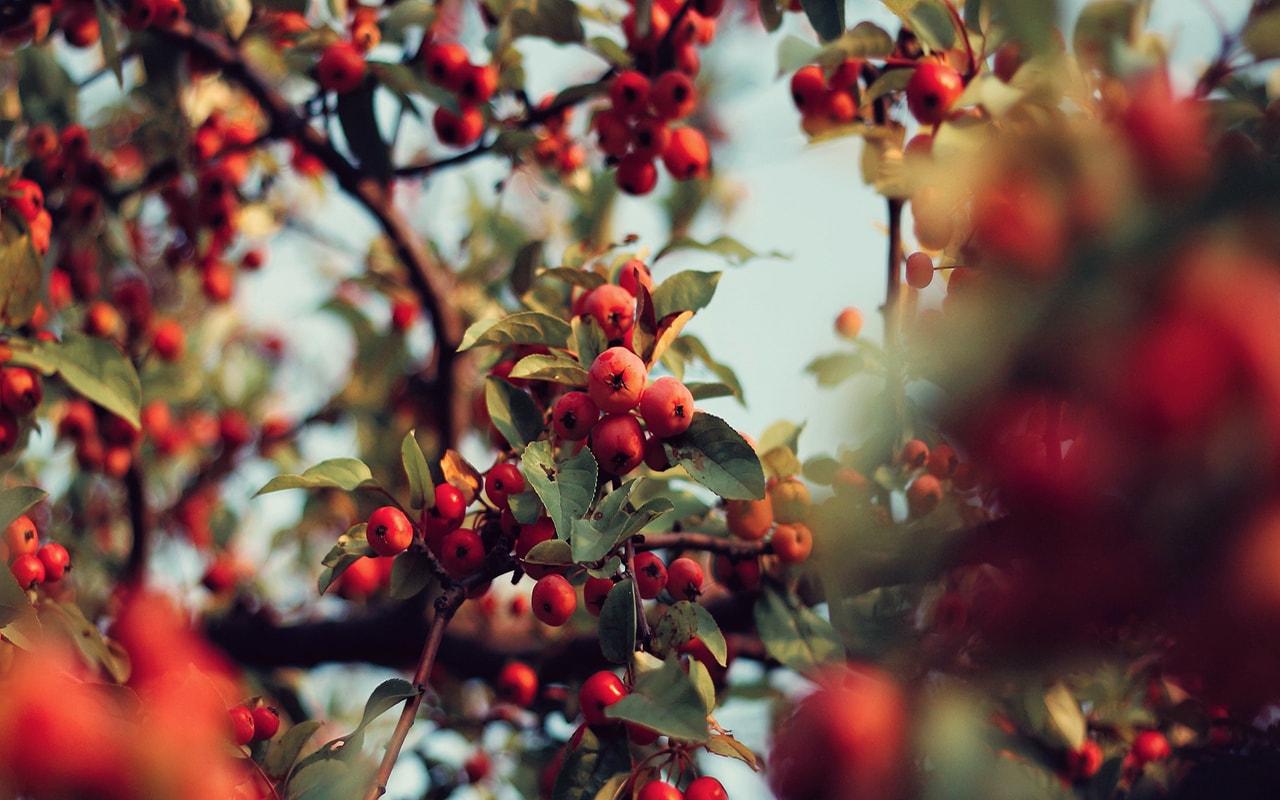 rosehip, tree